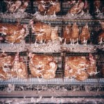 battery-cages