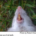 rat_teeth