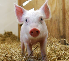 Sponsor this piglet at Farm Sanctuary ($10 and up)
